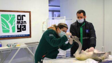 Saçma ile yaralanan beyaz kuğu Ormanya'da