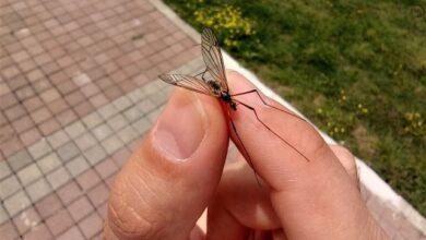 Büyükşehir'den çayır sineği açıklaması